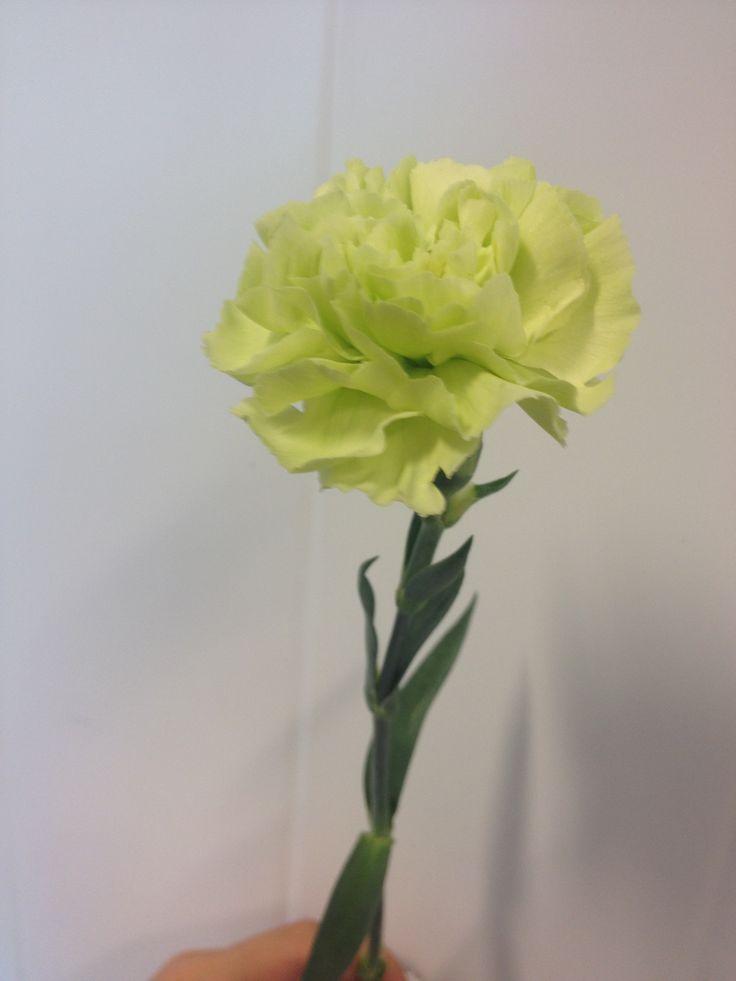Dianthus - ... - Nellik - grønn