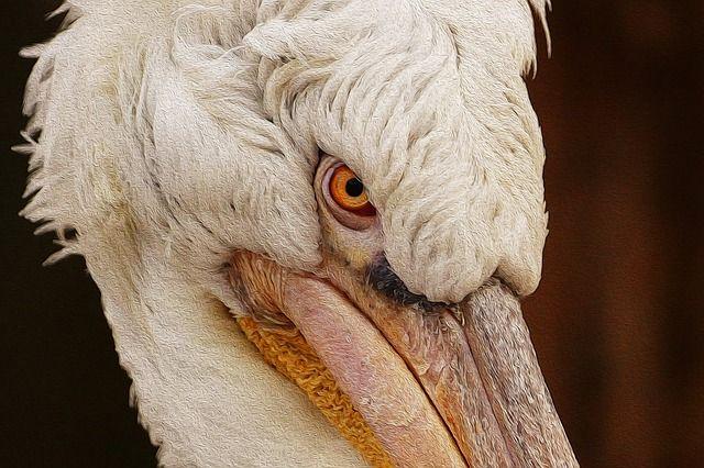 Pelikan, Pasăre, Natura, Păsări De Apă, Păsările De Apă