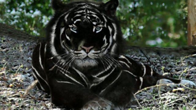 black tiger - Google Search