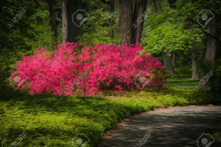 24354622-Jard-n-muy-cuidado-hermosa-con-un-camino-bordeado-de-arbustos-de-azaleas-en-flor-de-color-rosa-Foto-de-archivo.jpg (1300×870)