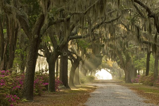 Live Oak Trees at Bonaventure Cemetery in Savannah, Georgia