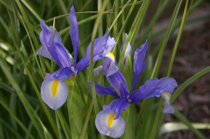 How to Care for Dutch Iris Bulbs | Garden Guides...Divide Dutch iris bulbs every three or four years in the fall, especially if you notice the blooms are not as large or as many as previous years. To divide Dutch iris bulbs, simply dig them up, divide them with your hands and replant them in a new location, 4 inches deep and 3 inches apart from one another. Read more: How to Care for Dutch Iris Bulbs | Garden Guides http://www.gardenguides.com/77806-care-dutch-iris-bulbs.html#ixzz2UyjTXASl