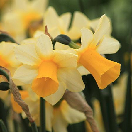 Narcissus 'GOLDEN ECHO' - (Daffodils)