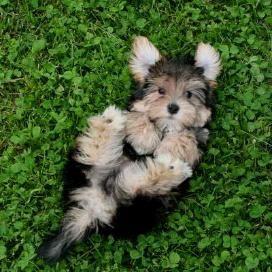 #Morkie (Maltese X Yorkie)  I'm so desperate for a dog!!!!