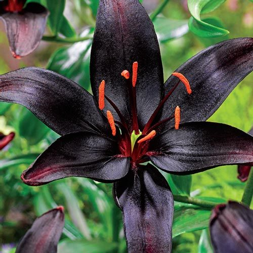 Black Wizard Lily  Let it Grow  Black flowers Lily