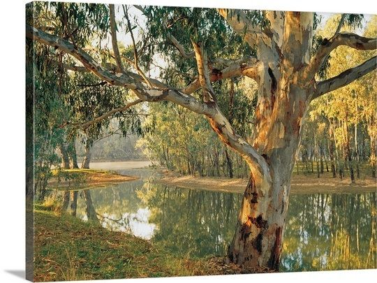 Old River Red Gum by a Murray River billabong at Corowa, New South Wales, Australia