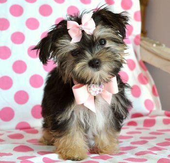 Sooooo my dream puppy! Teacup Morkie