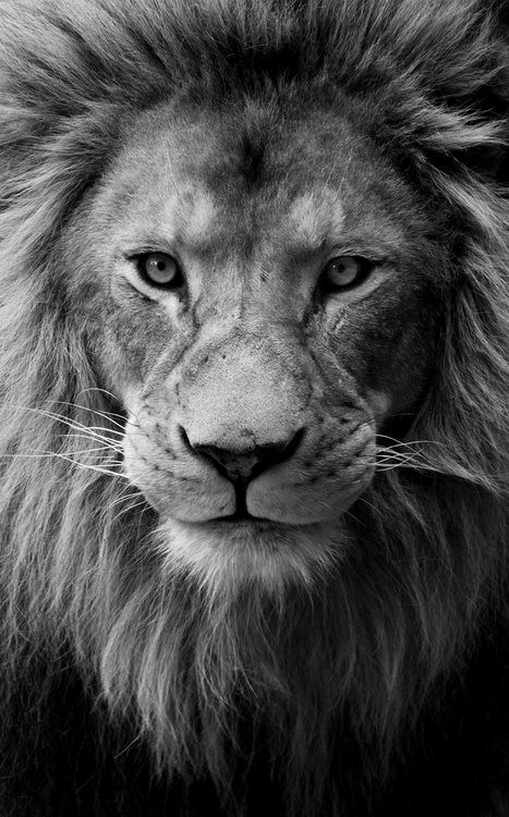 Black & white Lion closeup ✿⊱╮