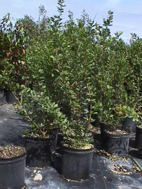 shrubs in florida