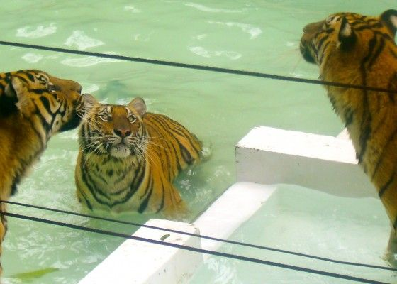 Tiger Kingdom Chiang Mai - Idiot Tourism in Thailand - Tropical Nomad | Tropical Nomad