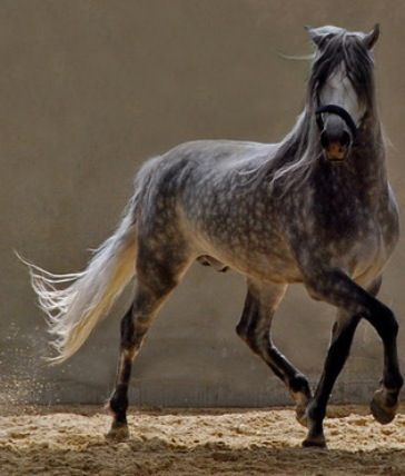 Dapple Grey Horse | Dapple Grey Horses Are So Beautiful! | Animals
