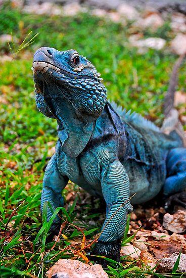 I LOVE iguanas! This is a spectacular example of the blue iguana... Amazing!  blue iguana   OCC Biology News & Views: Return Of the Blue Iguana.
