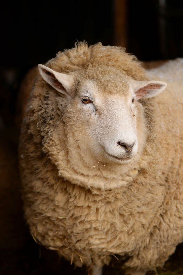 511 best little lambs u0026 sheep images on pinterest animals sheep