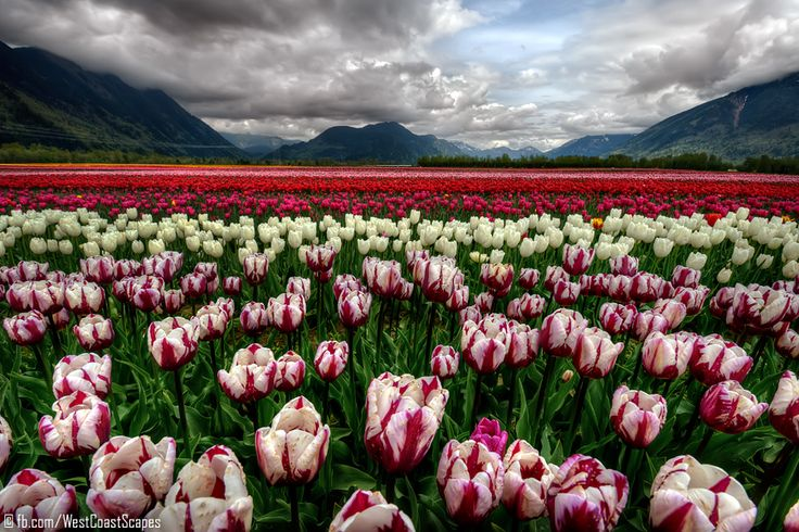 Agassiz, British Columbia, Canada: Tulip Fields, Flowers Fields, Natural Beautiful, Canada, Photo, Flowers Beautiful, British Columbia, Earth Beautiful, Tulip Sea