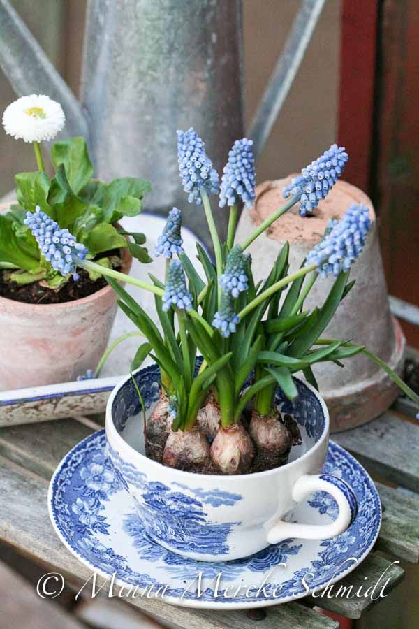 : Blue Muscari, Kevät, Blue Cups, Blue Hyacinth, White Decor, Flowers, Spring