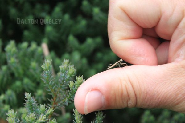 Baby-Praying-Mantis-On-thumb. See more images related to Praying mantis babies on http://nashvillelandscaping.com/praying-mantis-egg-case-nashville-tn/