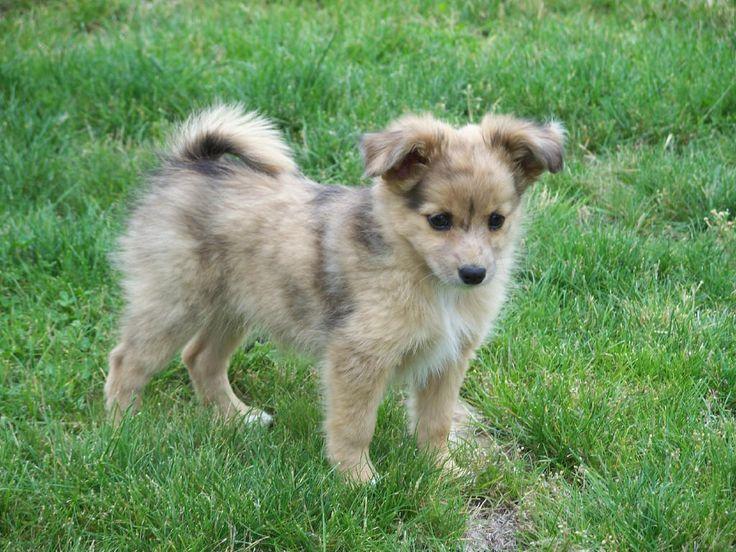 Australian Shepherd-Pomeranian mix