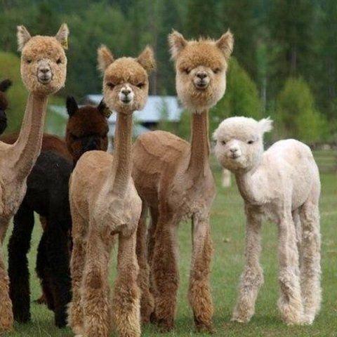 Llama shave this