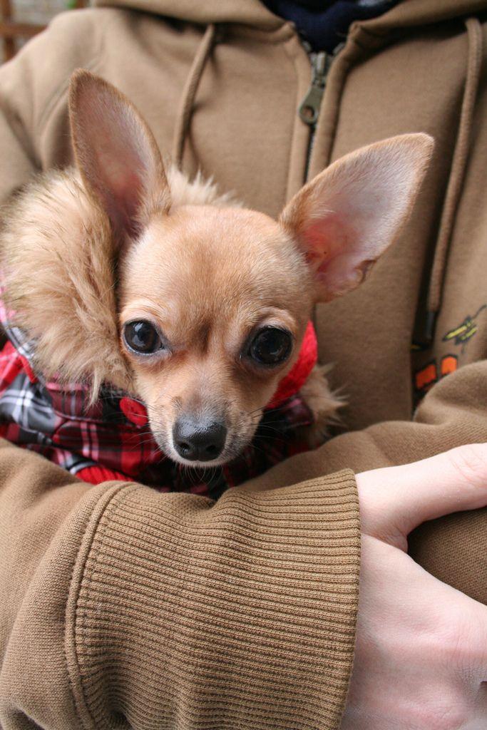 ❤️Reindeer Chihuahuas