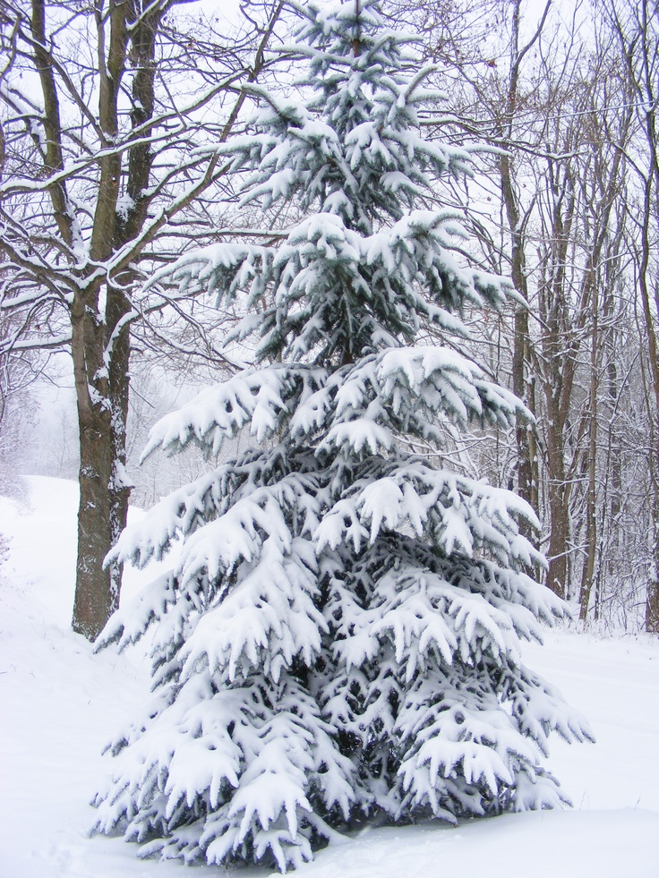 Best 25 snow covered trees ideas on pinterest snowy - Images of pine trees in snow ...