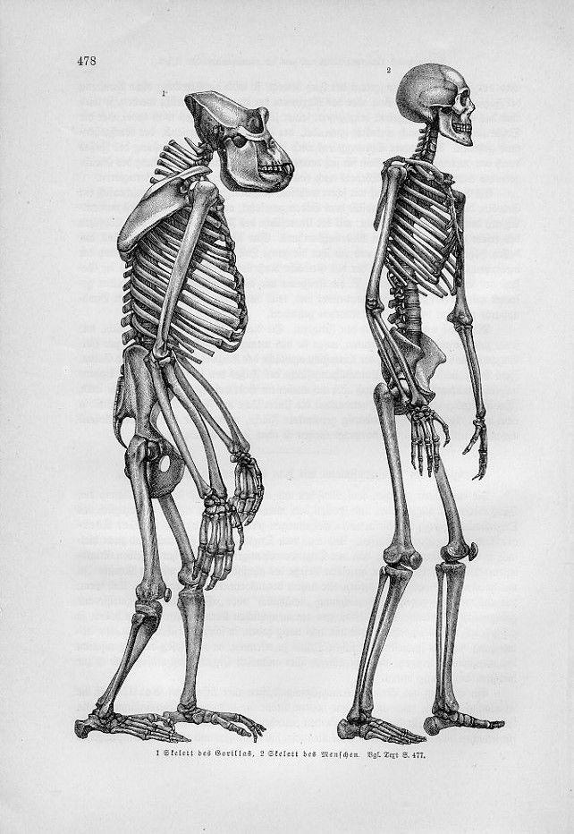 Mejores 20 imágenes de ANATOMY CHIMP en Pinterest   Anatomía animal ...