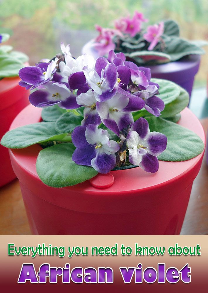 Because of its small size, the ease with which it blooms in the home and the wide variety of cultivars and hybrids available, the African violet has long been one of the most popular flowering house plants. African violets come in shades of white, blue, purple, coral, pink and even yellow...