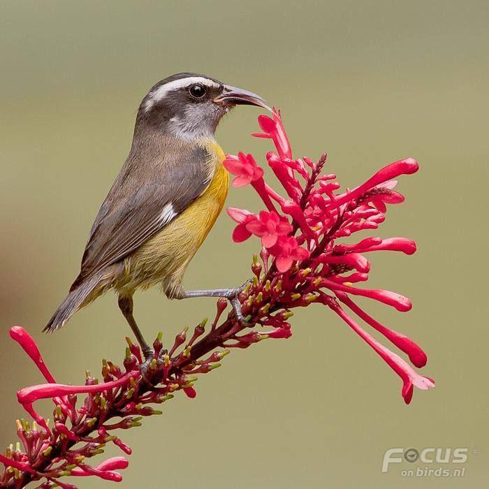 sárga cukormadár (Coereba flaveola)  Az Amerikai Virgin-szigetek nemzeti madara. Mexikóban, Közép-Amerika déli részén, a Karib-tengeri szigetek és Dél-Amerika területén él.  A fás, bokros, ligetes tájakat kedveli.  Nektárral és gyümölcsök nedvével táplálkozik, néha rovarokat is eszik.  Ágakra készíti gömb alakú fészkét. Fészekalja 2–3 tojásból áll, melyen 12–13 napig kotlik. A fiókák kirepülése után a fészket éjszakai pihenőhelyül használja.