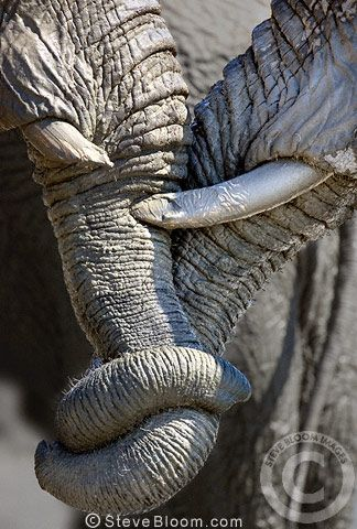 African elephants entwining trunks, Savuti, Botswana by Steve Bloom