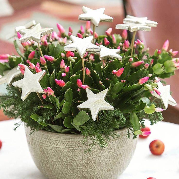Karácsonyi kaktusz #szobanoveny