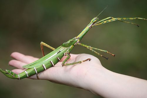 The Goliath stick insect (Eurycnema goliath) is the second largest stick insect (after the Titan stick insect) in Australia