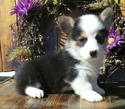 jftv Pembroke Welsh Corgi Puppies for Sale in TECATE , California