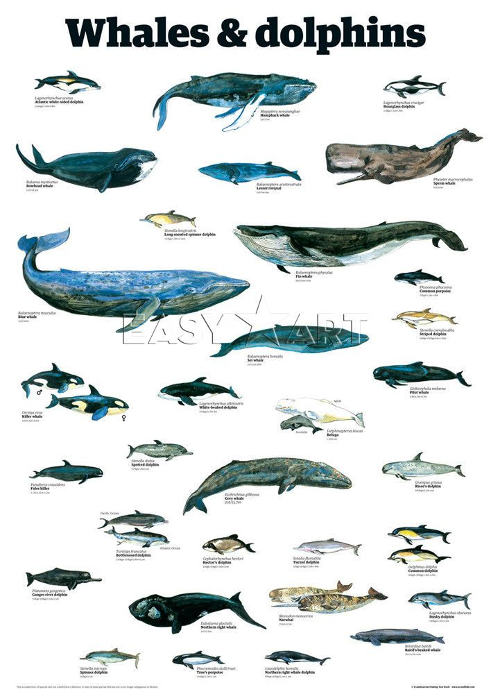 A poster showing cetaceans, mammals adapted to exclusive oceanic life. Whales and dolphins have been hunted in the past, a slaughter that continues to a certain degree to this day in some countries.