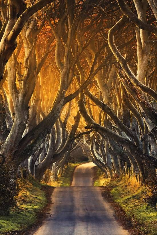 Tucked away in the county of Antrim, these beautiful beech trees are thought to be around 300 years old.  Known as The Dark Hedges, Northern Ireland