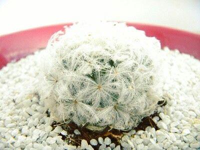 Cactus de la mejor selección...bola de plumas