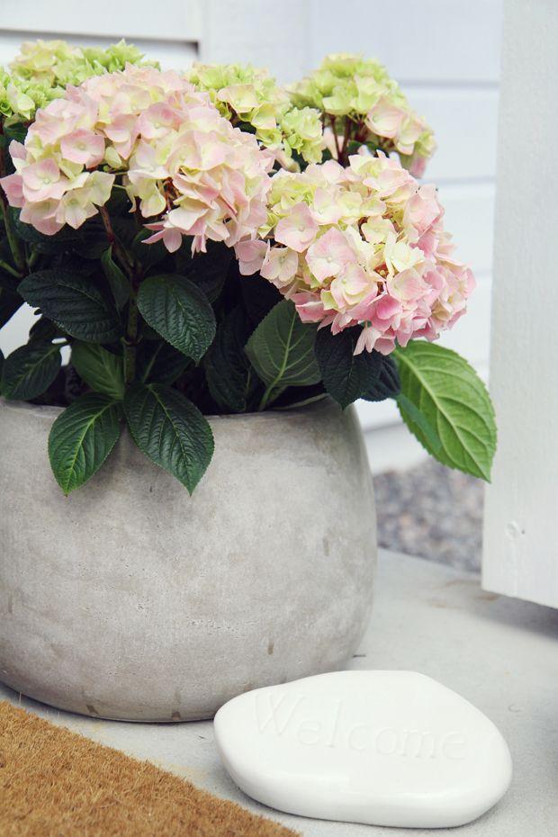 25 beste idee n over hortensia tuin op pinterest hortensia zorg hortensia en hortensia. Black Bedroom Furniture Sets. Home Design Ideas