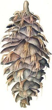 """Douglas Fir Cone-Jeanne Debons, botanical artist - NOTE: borrowed kit from ANED for """"The Little Mouse and the Douglas Fir Cone"""""""