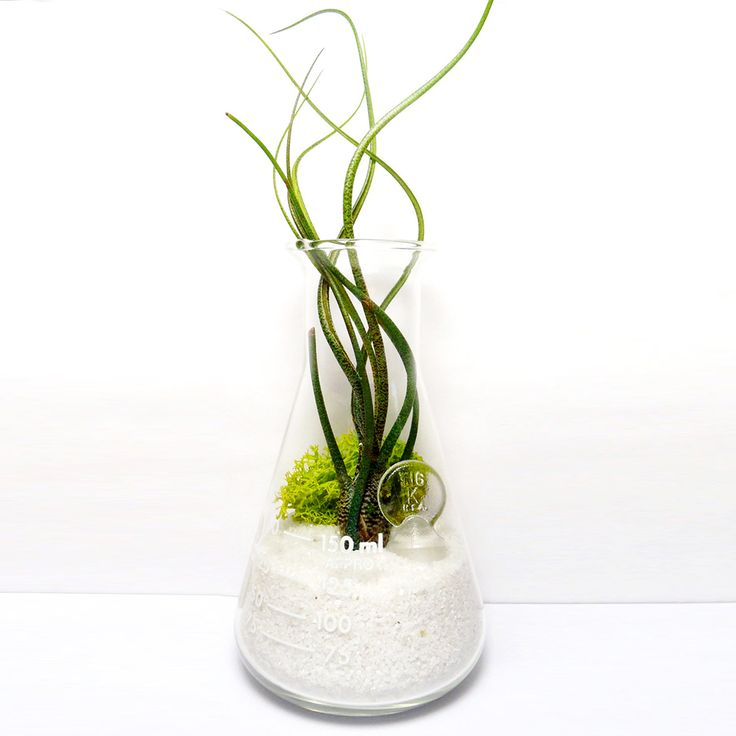 20 best images about air plant ideas on pinterest glass for Air vase