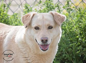 ●10•4•17 SL● ■TEXAS■ SUNSHINE Golden Retriever/Cattle Dog Mix Dog for adoption in Iola, Texas