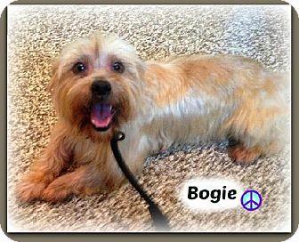 8/29/14 Doylestown, PA Shih Tzu Mix. Meet Bogie a Dog