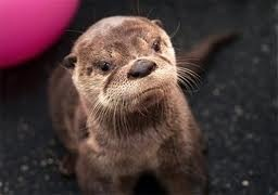 otter: Tracy Jordans, Baby Otters, Tracy Morgan, Oregon Zoos, Baby Animal, Funny Animal, Sea Otters, Rivers Otters, Baby Seals