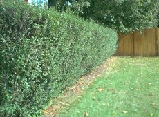 Privet Hedges - Growing Tips for Ligustrum Shrubs- Toxic to dogs