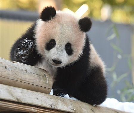 雪で遊ぶジャイアントパンダのシャンシャン=25日、東京都台東区の上野動物園(公益 - Yahoo!ニュース(時事通信)