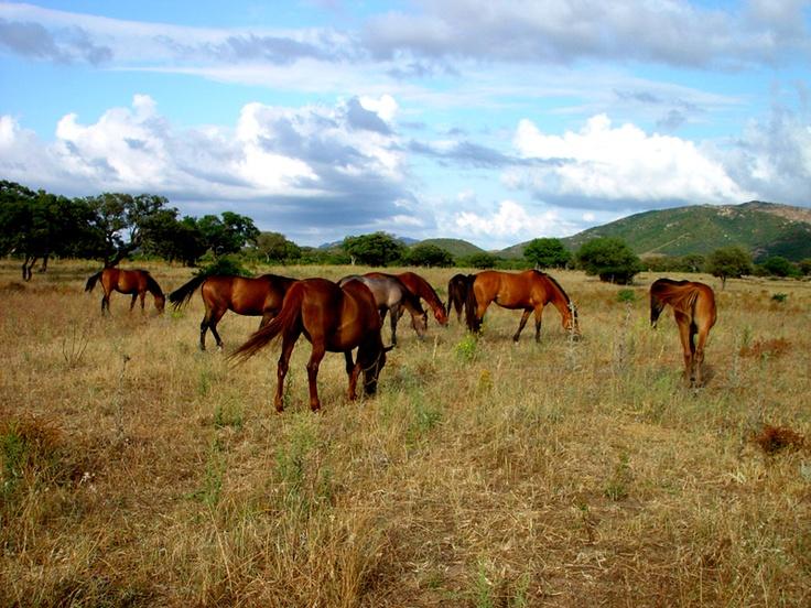 Wild Horses in Sardinia