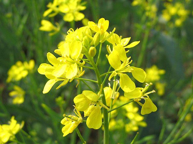 Mustard:   Best Season: autumn/   Color Matches: yellow/   Cuisine Matches: English, French, German/   Flavor Matches: honey, lemon, vinegar