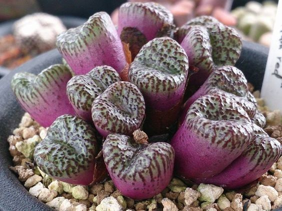 Image result for C.swanepoelianum