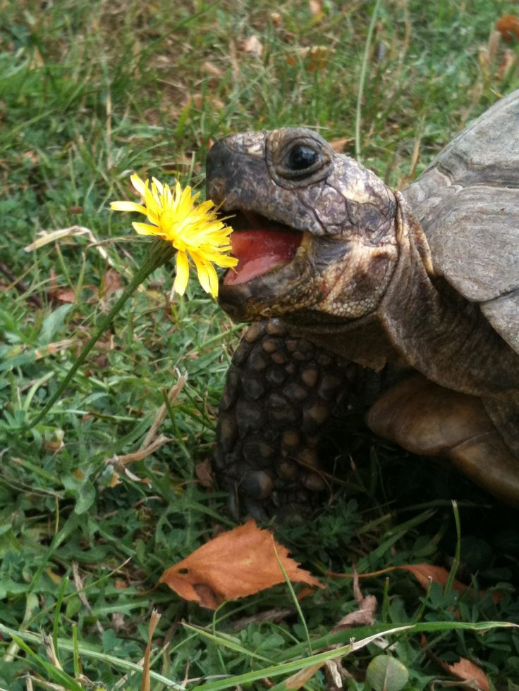 Tortoise eating a Dandelion.