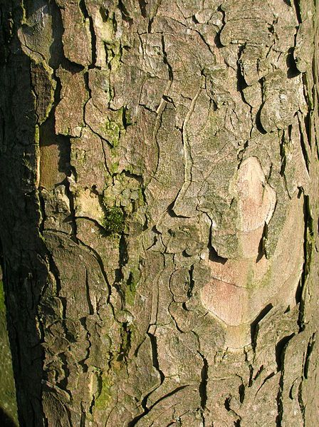 Typical appearance of bark of old Sycamore maple trees (Acer pseudoplatanus)