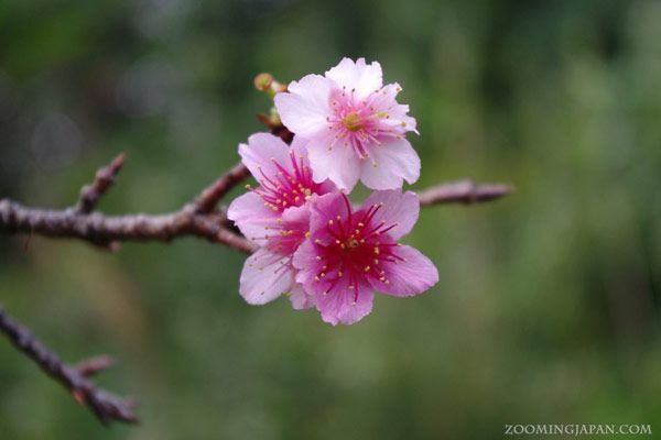 When Is The Best Time To View Cherry Blossoms In Japan Zooming Cherry Blossom Flowers Cherry Blossom Japan Cherry Blossom
