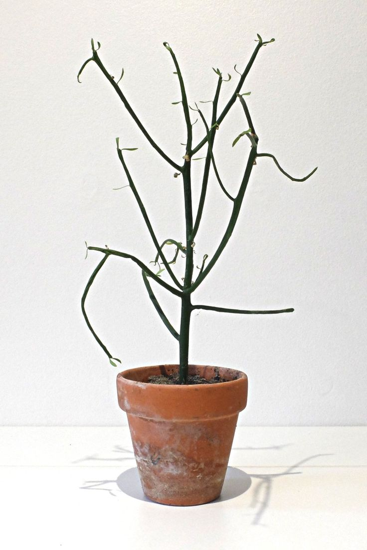 Euphorbia - Tirucalli via RECYCLED PLANTS. Click on the image to see more!