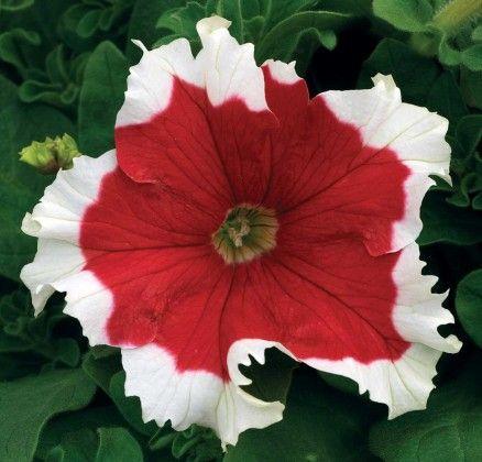Petunia Christmas Red #pohlmansnursery #10pots #gardening #australia